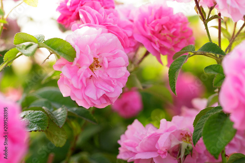 Leinwanddruck Bild pink rose bush closeup on field background