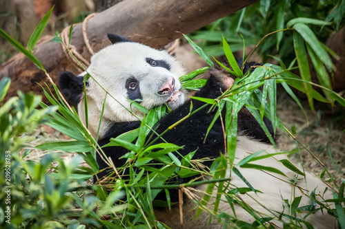 Plexiglas Panda Giant funny panda on his back and eating green bamboo leaf in Zoo