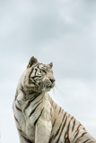 Beautiful portrait image of hybrid white tiger Panthera Tigris in vibrant landscape and foliage - 209529302