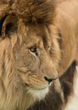 Beautiful intimate portrait image of King of the Jungle Barbary Atlas Lion Panthera Leo - 209529522