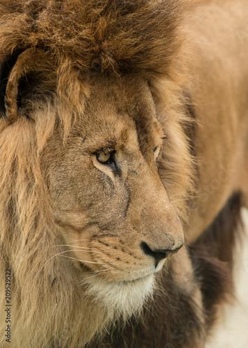 Beautiful intimate portrait image of King of the Jungle Barbary Atlas Lion Panthera Leo