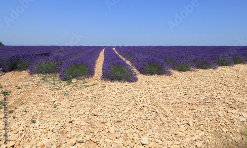 Fotobehang Lavendel Lignes d'un champ de lavandin sur un haut plateau rocailleux du Lubéron