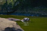 World's smallest Otter, Asian Small-Clawed Otter Aonyx Cinerus on rocks in sunlight - 209529936