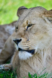 Close up portrait of female African Lion Panthera Leo Leo in Summer sun - 209530512