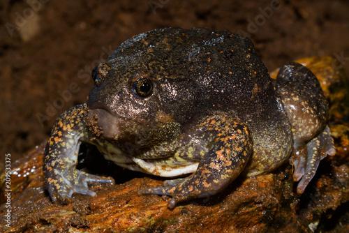 Fotobehang Kikker Glyphoglossus molossus in Thailand