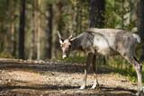 reindeer - 209534940