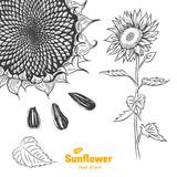 Sunflower hand drawn illustration