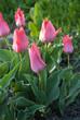 Tulipa Greigii Toronto in garden. Latvia, Europe