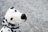 Portrait of a Dalmatian dog. Focus on nose tip.