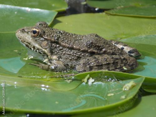 Fotobehang Kikker grenouille