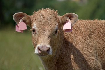 Young beef cattle on a grassy pasture. Detail of a cow