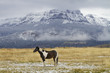 pinto ranch horse standing in grassy pasture with snow; Wyoming mountains