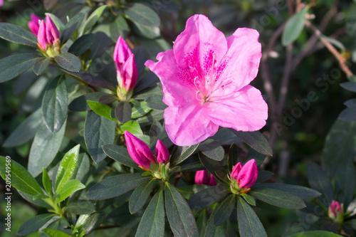 Fotobehang Azalea Azalea flower pink
