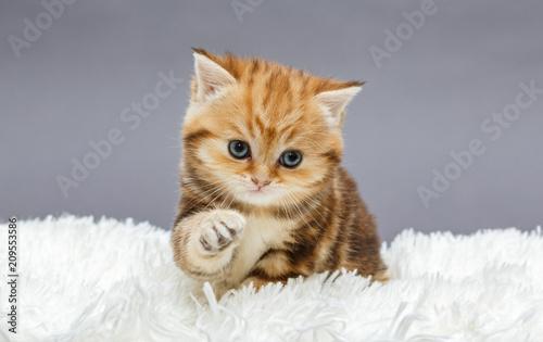 Little red kitten on a fur blanket