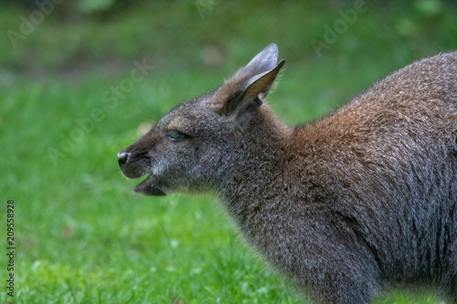 Plexiglas Kangoeroe bennett känguru