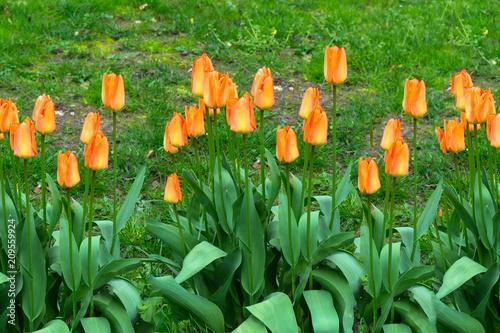 Fotobehang Groene Red and orange tulips
