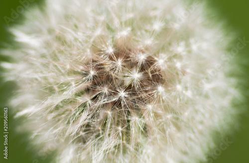 dandelion - 209560163