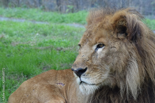 Fotobehang Lion ライオン