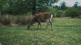 Slow motion closeup shot deer grazing in a park - 209571760