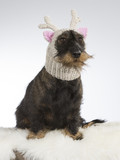 Funny dog picture. Wiener dog is wearing a knitted deer hat with pink ears. Humor studio shot. - 209574502