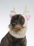 Funny dog picture. Wiener dog is wearing a knitted deer hat with pink ears. Humor studio shot. - 209574515
