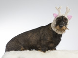 Funny dog picture. Wiener dog is wearing a knitted deer hat with pink ears. Humor studio shot. - 209574530