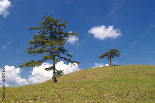 Aluminium Zomer Landscape of Zlatibor mountain in Serbia with old pine trees