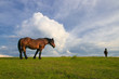 Two Sorrel horses grazing on the meadow
