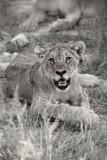 Etosha Cub