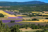 lavender fields in Provence. Lanscape of France