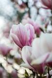 Magnolie in Blüte im Frühjahr - 209583131