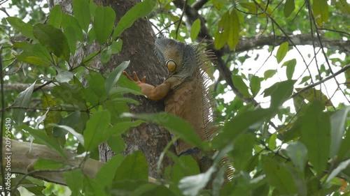 Naklejka Handheld Shot of Iguana in a tree