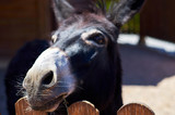 Close up of donkey head with wooden fences in the countryside. Cute animal