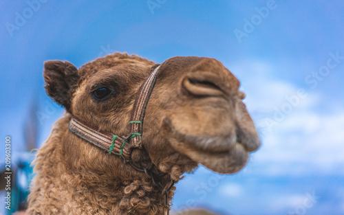 Fototapeta Cute Camel Face