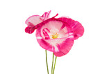 beautiful poppy isolated
