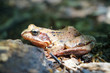 Brown forest frog