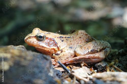 Fotobehang Kikker Brown forest frog