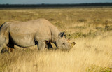 Large de-horned rhino on plains in Namibia. - 209615546