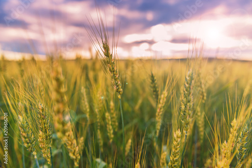 Aluminium Lichtroze Spikelets of wheat in the evening.