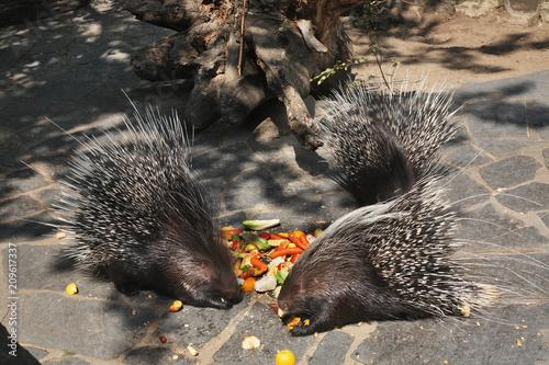 Aluminium Berlijn Porcupine in Zoological Garden