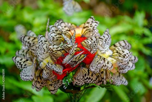 Fotobehang Vlinder オオゴマダラの群れ