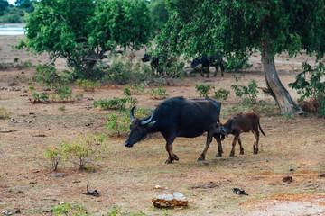 calf sucks milk from the buffalo mom in savannah on sri lanka