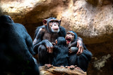 A chimpanzee family on their favorite place of family cohesion is very important to them. - 209624518