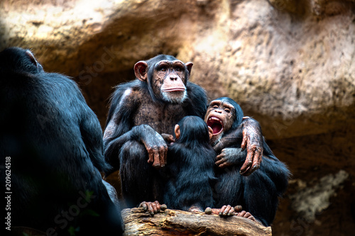 Fotobehang Aap A chimpanzee family on their favorite place of family cohesion is very important to them.