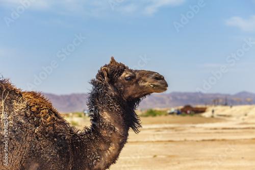 Fototapeta Camel Portrait