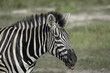 Zebra on the Savanah in Botswana