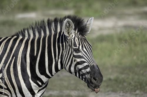 Zebra on the Savanah in Botswana