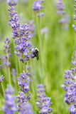honey bee landing at the middle section of lavender flowers in the filed. - 209632386