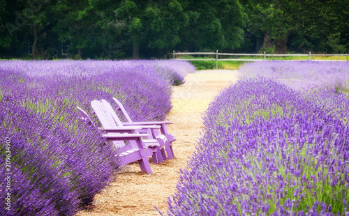 Fields of lavender flowers on Long Island, New York, with a path down the center and a few lavender-colored wooden chairs - 209634902