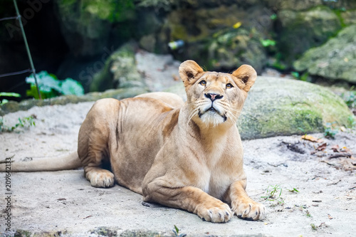Female lion, Lioness on the ground waits for his food in Zoo